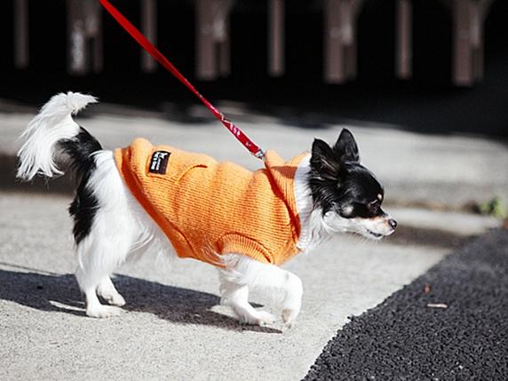 オレンジの洋服を着て散歩する白黒チワワ