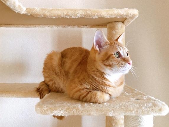 キャットタワーに乗って伏せて眺める茶トラ猫