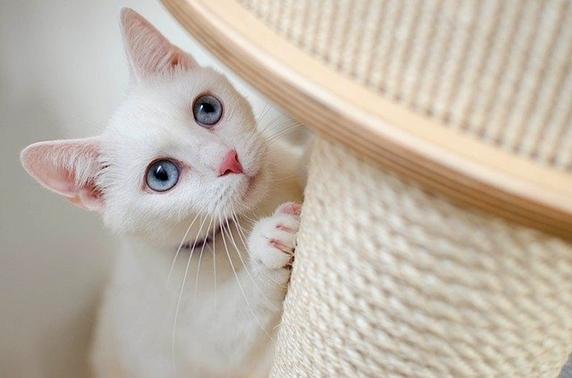 爪研ぎをする白猫