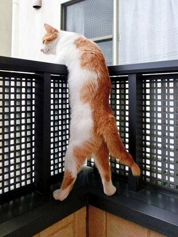 ベランダから乗り出す茶トラ白猫