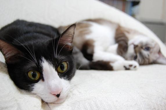 ソファでくつろぐ2匹の猫
