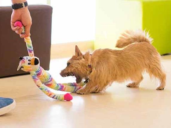 飼い主とオモチャの人形で遊ぶ子犬