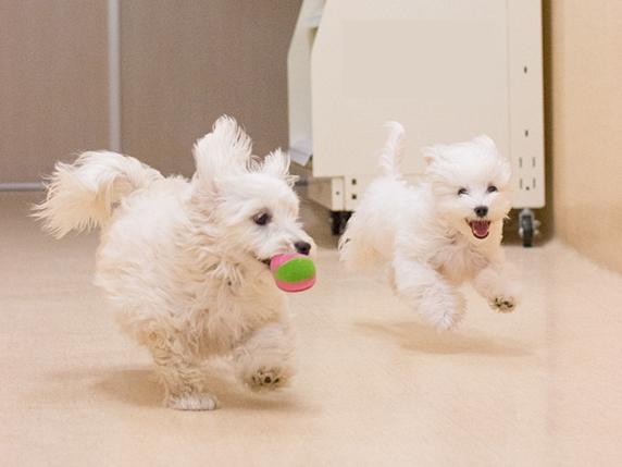 パピークラスで遊ぶ2頭の白い子犬