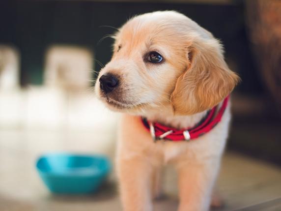 ゴールデンレトリーバーの子犬