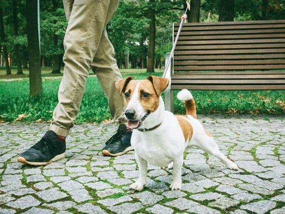 公園で散歩中何かを見て吠えそうなジャックラッセルテリア
