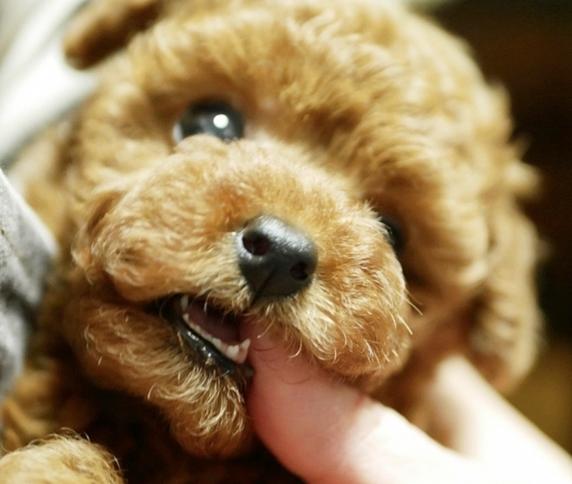 手を噛むレッドのトイプードルの子犬
