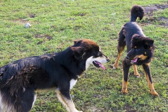 芝生で向かい合う2頭の黒い犬