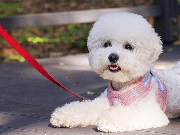 散歩中に伏せる白いモコモコの犬