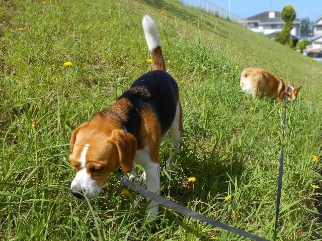 原っぱで散歩するビーグル犬
