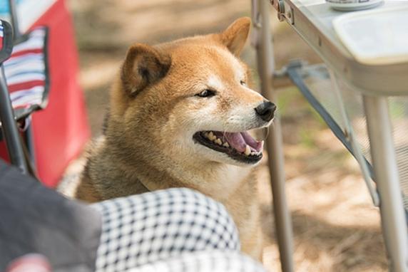 キャンプで飼い主の横に座る柴犬