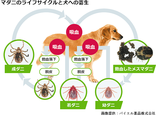 マダニのライフサイクルと犬への寄生の図(バイエル薬品株式会社提供)