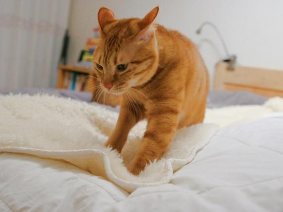 毛布にふみふみする茶トラ猫