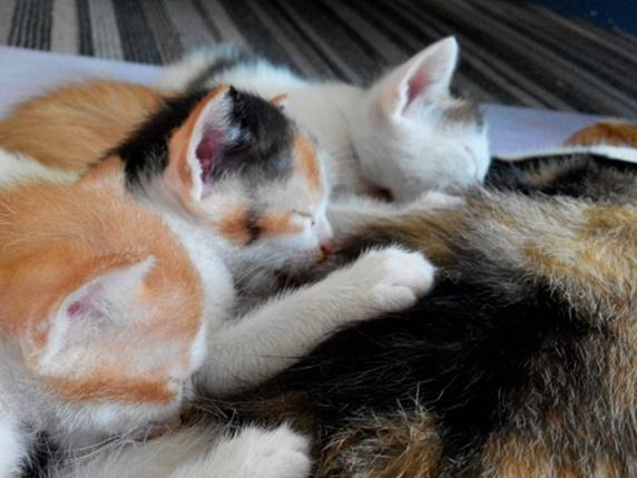 お乳をのむ3匹の子猫