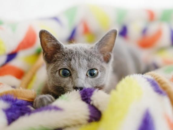 毛布の上にいるロシアンブルー