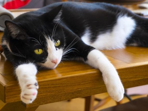 くつろぐ八割れの柄の猫
