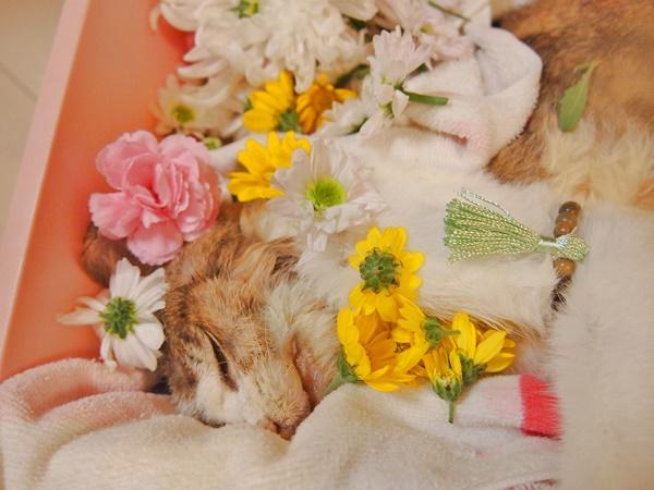 念珠をつけ、フラワーシャワーで囲まれた棺に入る愛猫ちびさん