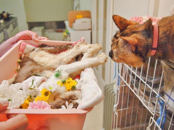 いっしょに暮らした猫たちに、「ほら、ちびさんとお別れだよ」と挨拶させます。