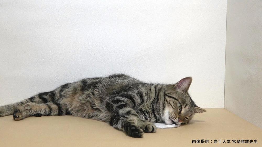猫のネペタラクトールすりつけ反応(床)