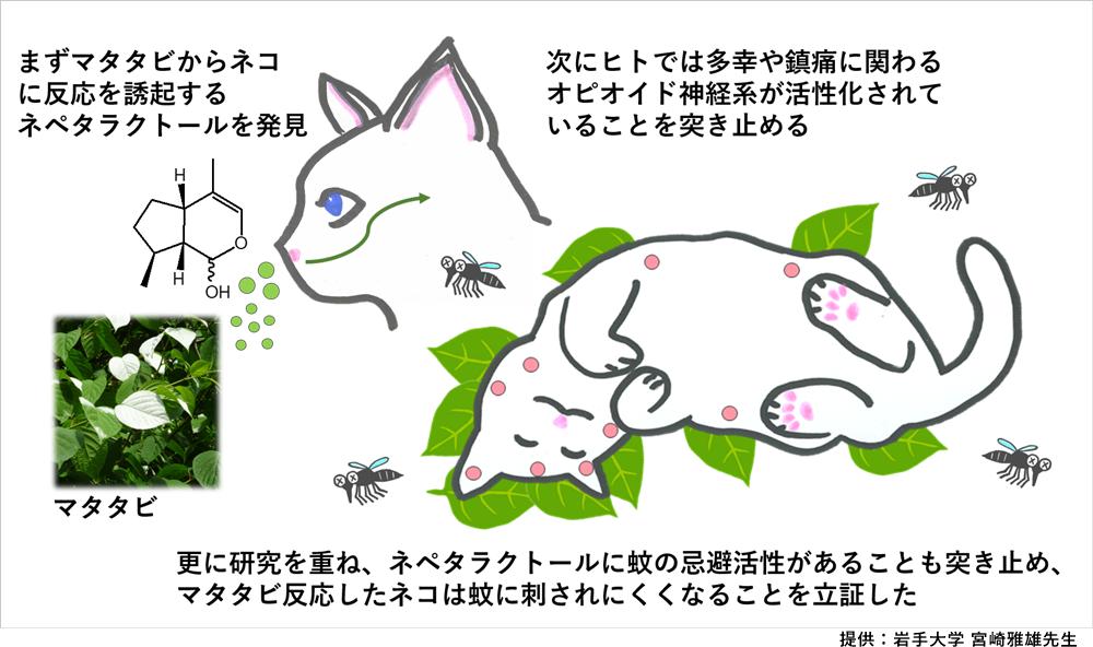 猫のマタタビ研究概要図
