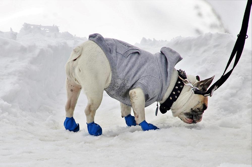 靴を履いて雪の上を散歩するフレンチブルドッグ
