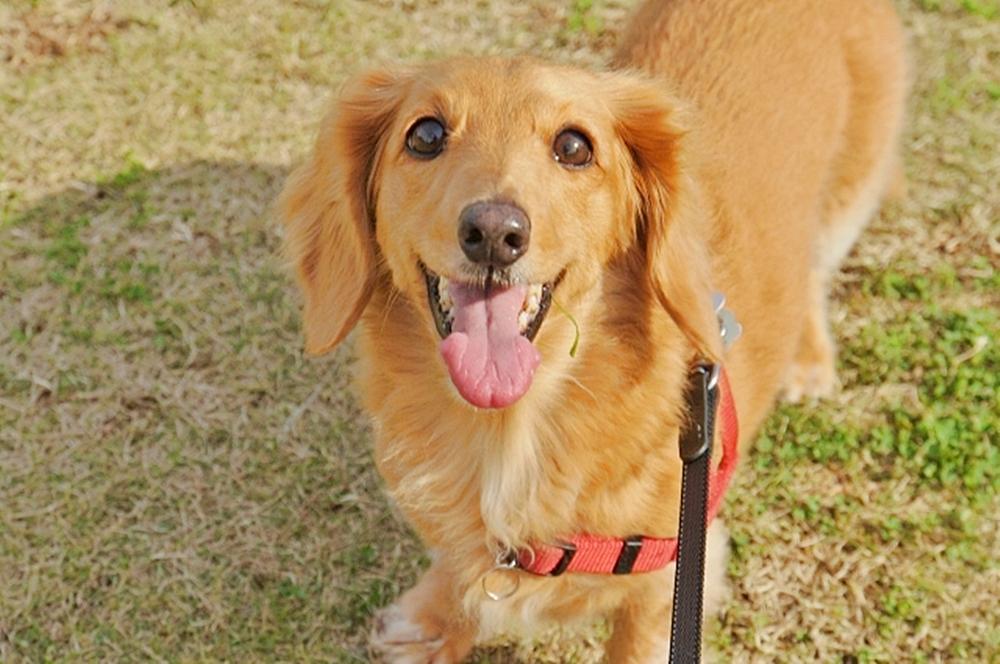 芝生の上で飼い主を見上げて楽しそうなダックスフント