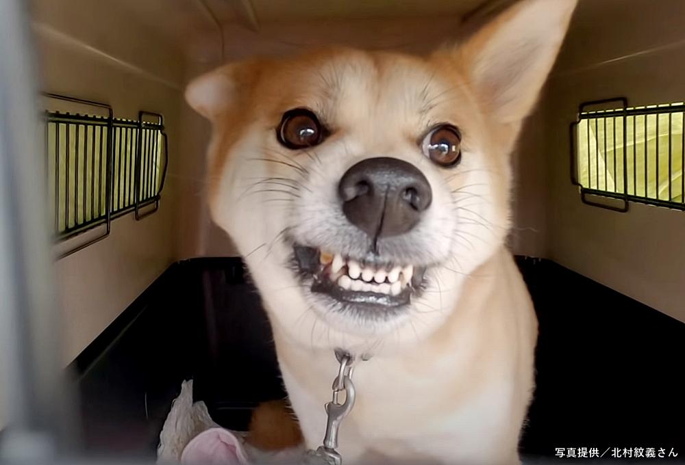 クレートの中で歯を剥きだす柴犬