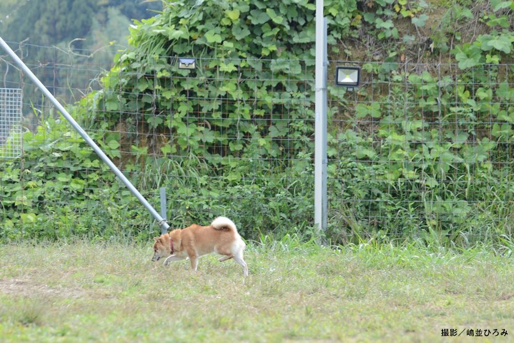 保護犬達の楽園の広場で過ごす日本犬