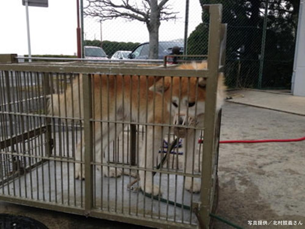 檻の中の秋田犬