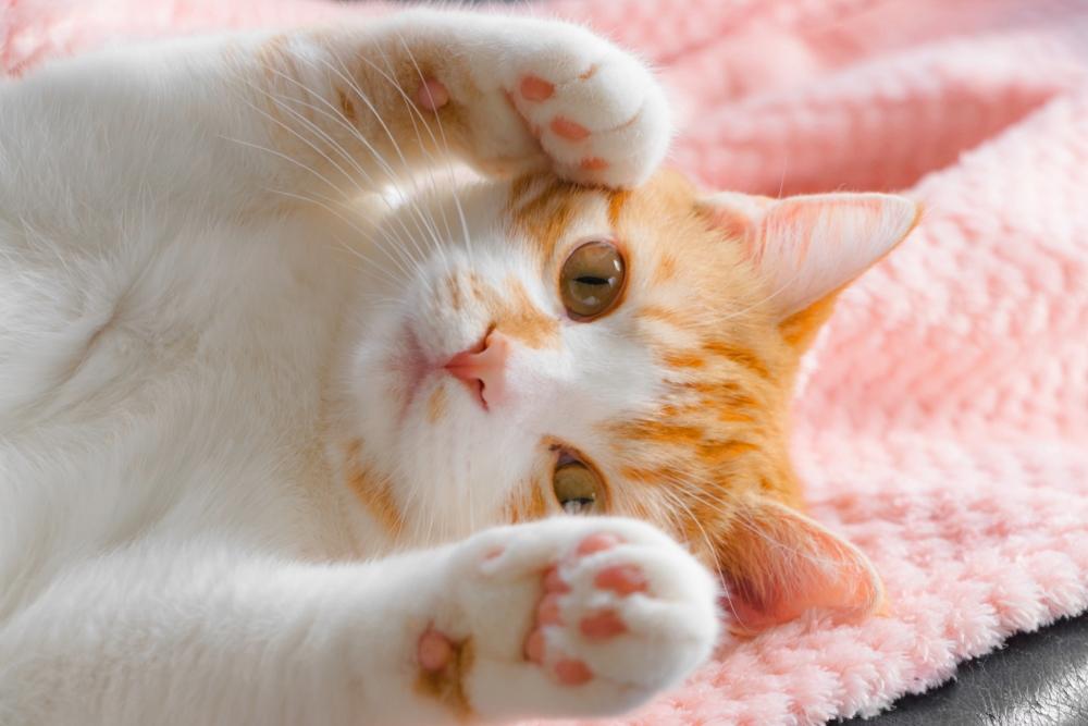 ピンクのタオルの上に仰向けで寝転がる茶トラ白猫